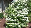 Summer Snowflake Viburnum