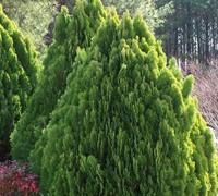 Berkman's Golden Arborvitae Picture