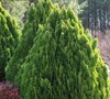 Berkman's Golden Arborvitae