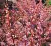 Rose Glow Barberry