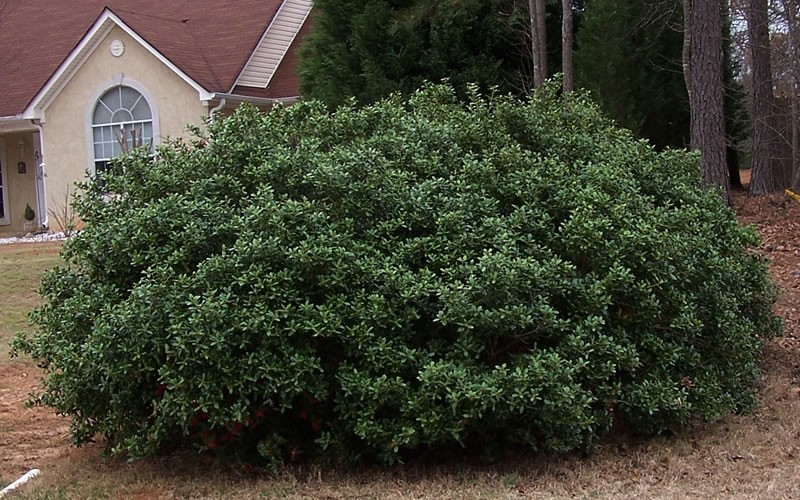 Dwarf Burford Holly Picture