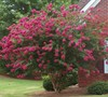 Tuscarora Crape Myrtle