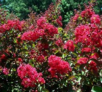 Tonto Crape Myrtle Picture