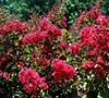 Tonto Crape Myrtle