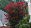 Dynamite Crape Myrtle