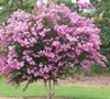 Sioux Crape Myrtle