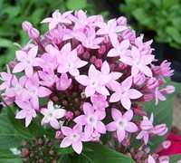 Lavender Butterfly Pentas Picture