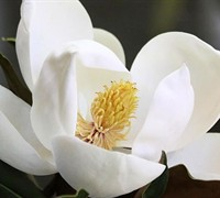 Little Gem Magnolia Picture