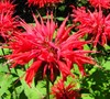 Raspberry Wine Beebalm