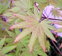 Full Moon Japanese Maple Picture