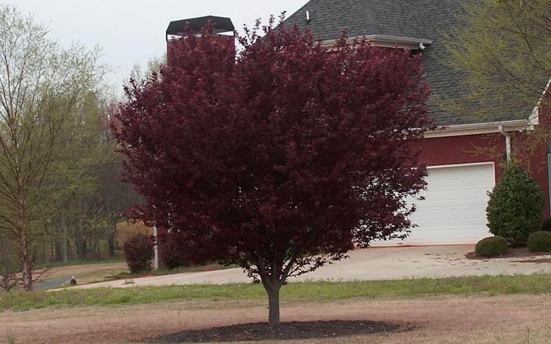 Purple Leaf Plum Tree Picture