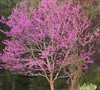Eastern Redbud Tree Picture