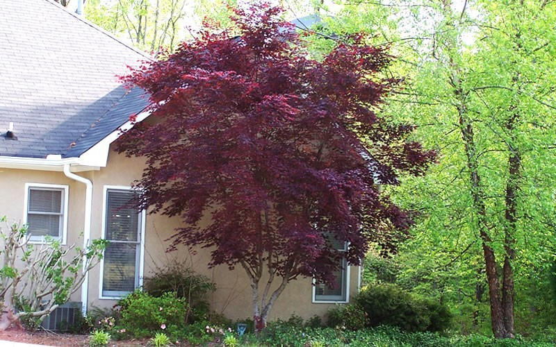 Bloodgood Japanese Maple Picture