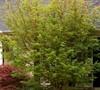 Coral Bark Japanese Maple