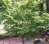 Coral Bark Japanese Maple Picture