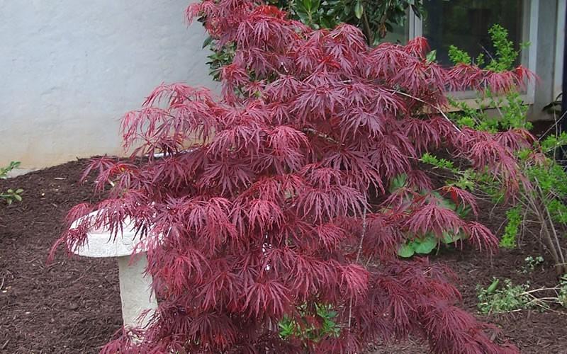 Crimson Queen Japanese Maple Picture