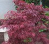 Crimson Queen Japanese Maple Picture