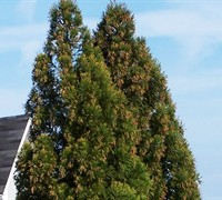 Yoshino Cryptomeria Picture