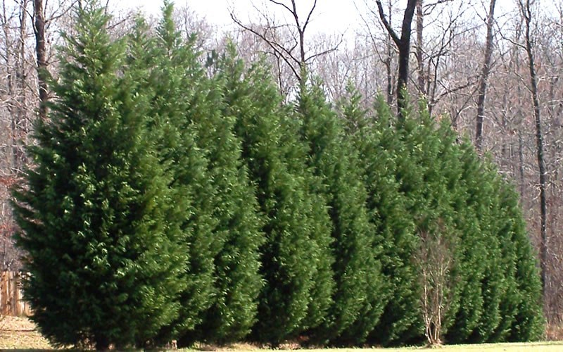 Leyland Cypress Picture