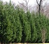Leyland Cypress