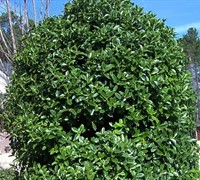 Oakleaf Holly Picture