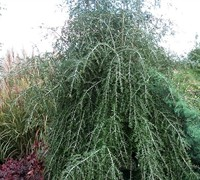 Weeping Yaupon Holly Picture