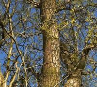 Corkscrew Willow Tree Picture
