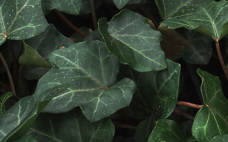 English Ivy Picture