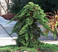 Green Mound Juniper  Picture