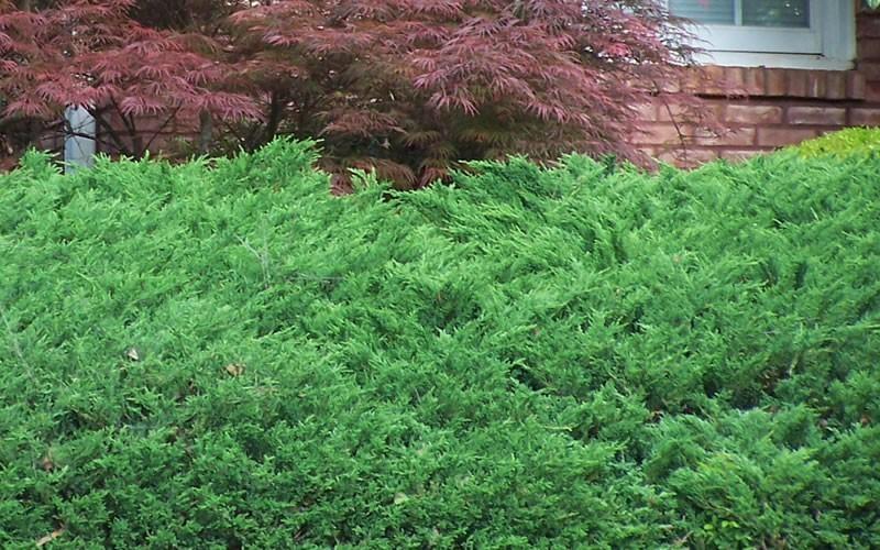 Green Sargent Juniper Picture