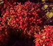 Firepower Nandina