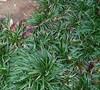 Dwarf Mondo Grass Picture
