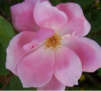 Knock Out Pink Rose Picture