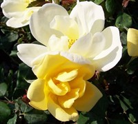 Sunny Knock Out Rose Picture