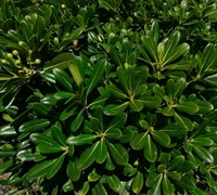 Wheeler's Dwarf Pittosporum Picture