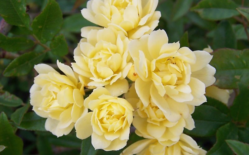 Lady Banks Yellow Rose Picture