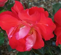 Caramba Rose Picture