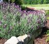 Spanish Lavender Picture