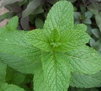 Spearmint Plant Picture