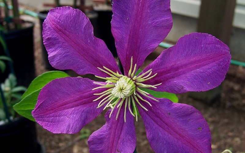 Jackmani Clematis Picture
