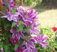 Nelly Moser Clematis Picture