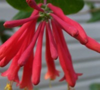 Red Trumpet Honeysuckle Picture