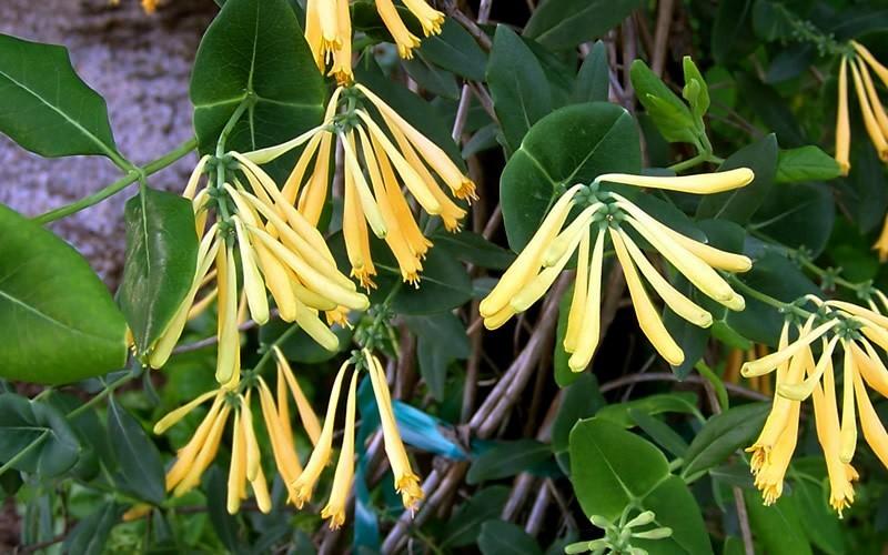 Yellow Honeysuckle Picture