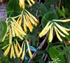 Yellow Honeysuckle Picture