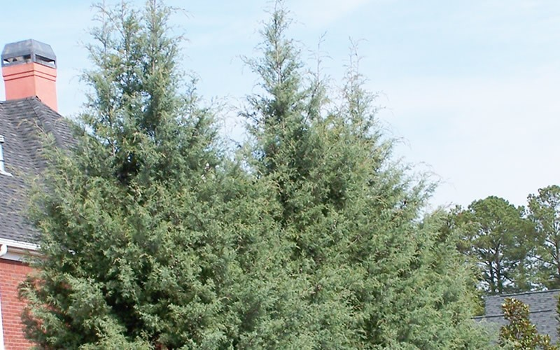 Carolina Sapphire Cypress Picture
