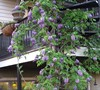 Amethyst Falls Wisteria