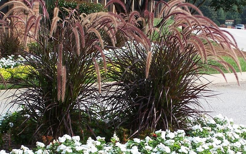 Ornamental grasses for Purple grass