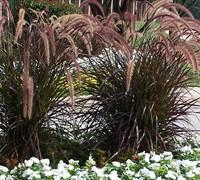 Purple Fountain Grass Picture