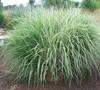 Silver Arrow Grass
