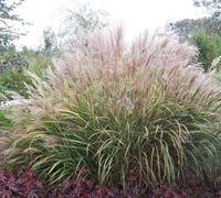 Silver Arrow Grass Picture